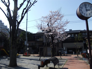 Hanami_007