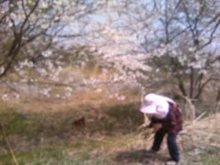 故郷石川県能登は桜満開!